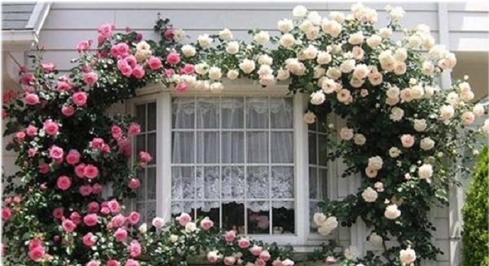 Плетистые розы наращивают мощную вегетативную массу, которая не обрезается на зиму и требует тщательного формирования и ухода.