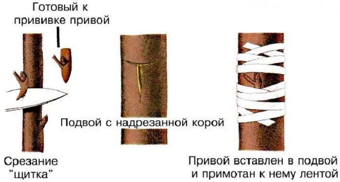 Обвязка производится вокруг почки, а не поверх неё.