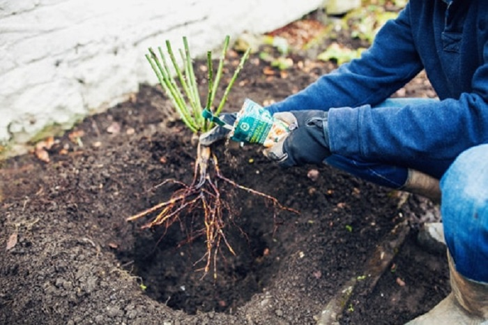 Улучшение почвы проводится при посадке куста, мульчирование – на протяжении всей жизни растения