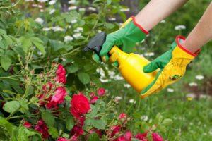 Если почва слишком прохладная, усвоение питательных элементов корнями идёт хуже, поэтому предпочтительней внекорневые подкормки.