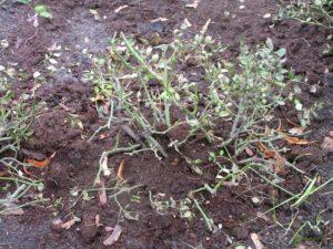 При защите роз на зиму торфом, важно укрыть место прививки и максимальное количество обрезанных побегов.