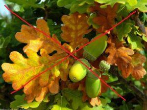 Листья и плоды дуба нельзя закладывать в компост для роз