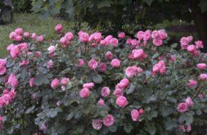 Сорт «Леонардо да Винчи» один из наиболее популярных среди садоводов, из-за устойчивости к болезням роз.