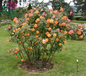Сорта роз, подобные «Сахара», пользуются популярностью у садоводов, из-за обильного цветения и относительной устойчивостью к неблагоприятным условиям.