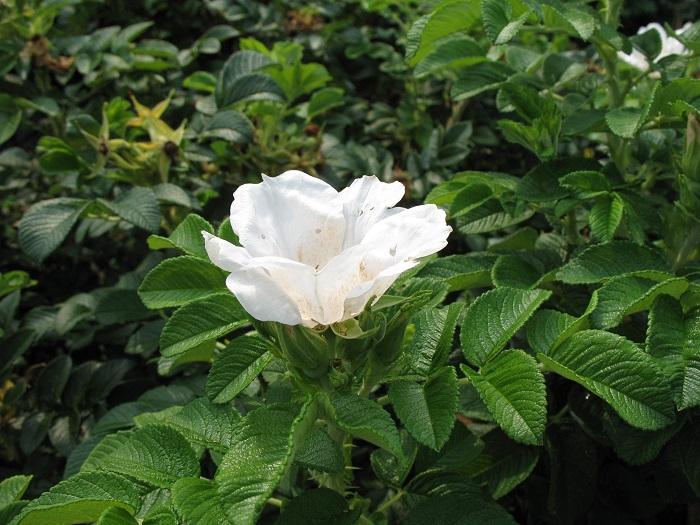 Blanc Double de Coubert, как и все наиболее морозоустойчивые сорта ведут свое начало от Rosa Rugosa и относятся к парковым розам