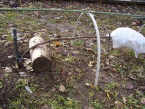 На зиму привитые штамбы аккуратно пригибают к земле, место окулировки защищают укрывным материалом, лапником или опилками и присыпают землей