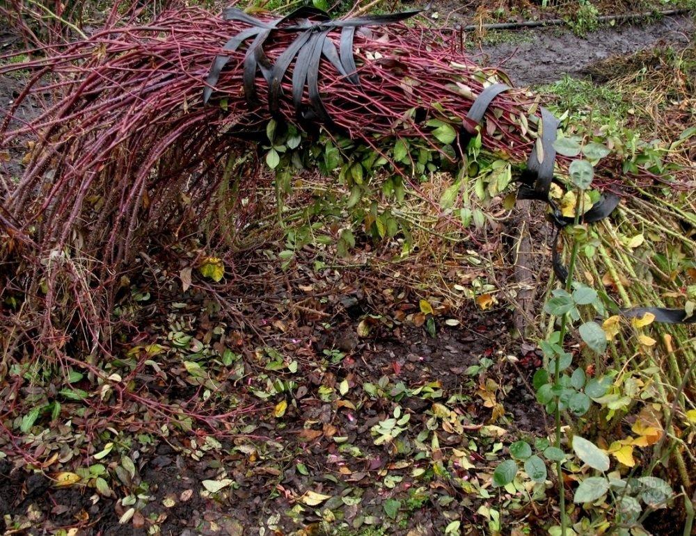 Для удобства плетистые розы перед укрытием свивают в один пучок и перевязывают, чтобы плети не рассыпались.