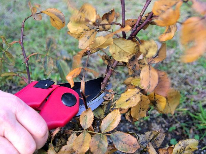 При подготовке к зиме розы должны быть обрезаны, а старая мульча и опавшие листья убраны и сожжены.