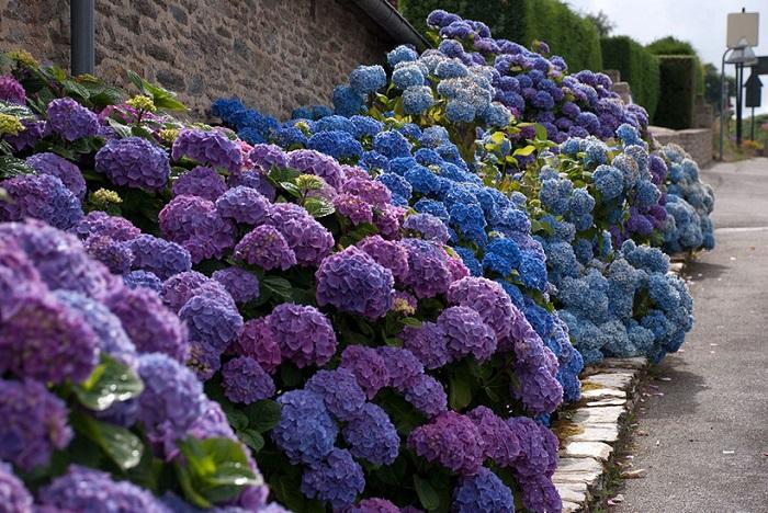 На слишком кислых почвах, губительных для розы, гортензия будет цвести наиболее пышно, приобретая синий оттенок соцветий.