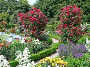 Основная профилактика пеноспороза заключается в соблюдении условий выращивания роз.
