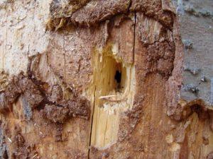 Любые трухлявые деревянные конструкции или стволы деревьев могут послужить гнездом для пчелы-листореза.