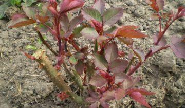 Для стимуляции роста замещающих побегов после весенней обрезки розы необходимо подкормить азотными удобрениями