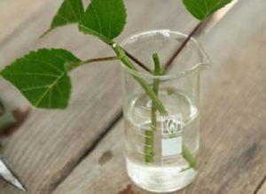Для каждого черенка готовят емкость, размером с одноразовый пластиковый стакан. Сначала наполняют отстоянной водой на две трети, затем помещают черенок. В стакан можно добавить каплю укоренителя, но необязательно.