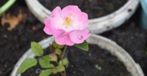 Роза зацветает через 2,5 – 3 месяца.