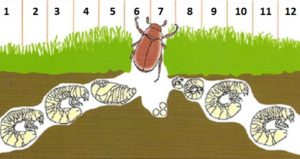 Садовый хрущик, который живет в дерне газона, наиболее опасен для роз, во время лёта, с конца мая до августа. (Цифрами на рисунке обозначены месяцы года).