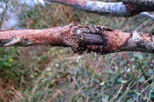 Инфекционный ожог опасен не только для роз, он поражает молодые саженцы яблони.