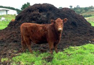 По примеру ведущих питомников Европы по разведению роз, отечественные садоводы применяют коровяк 4 – 5 кг/м2. Его вносят в почву для основной подкормки и в качестве сухой мульчи, как МДУ (медленно действующее удобрение)
