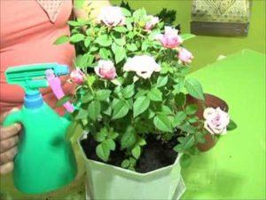 Миниатюрные розы для профилактики и борьбы с трипсами опрыскивают со всех сторон. Особенно тщательно обрабатывают нижние части листьев.