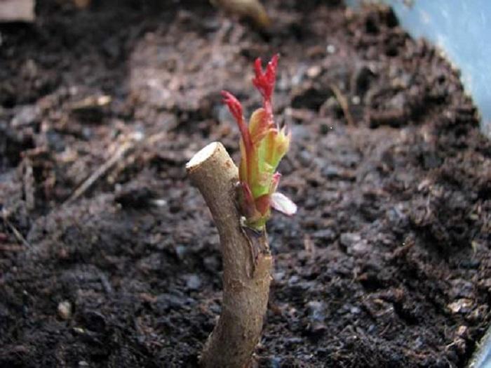 После срастания почки с подвоем, побег шиповника обрезают, чтобы направить питательные вещества в молодой отросток.
