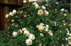 Сорт Краун Принцесс Маргарита – один из неустойчивых к повреждению пилильщиком розанным.