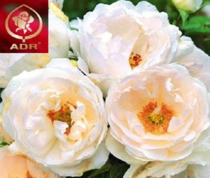Знак ADR (Allgemeine Deutsche Rosenneuheitenprüfung) в переводе означает Общенемецкая сертификация сортов роз.