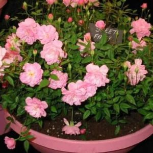 Sweet Fairy пользуется большой популярностью в комнатном садоводстве.