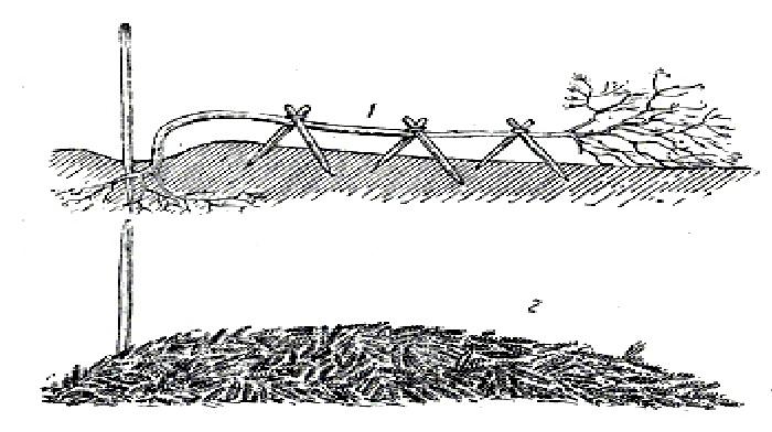 Укрытие штамбовых роз на зиму: 1 – пригнуть и закрепить, 2 – защитить укрывным материалом.