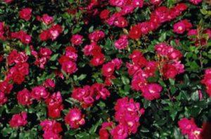 Наибольшей зимостойкостью отличаются парковые розы и многие плетистые сорта.