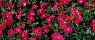 Что делать, если роза подмерзла