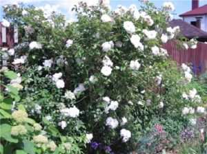 Любителей белоцветных роз порадуют своей устойчивостью в болезни сорт «Virgo»