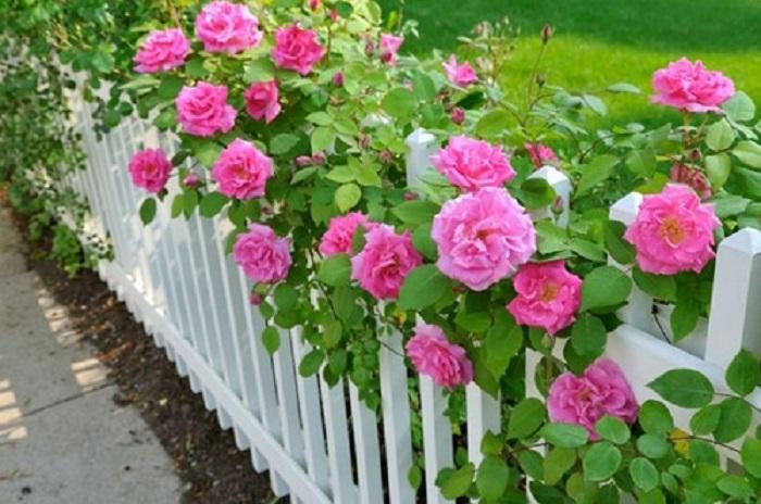 Розарий своими руками. Эффектно выглядят розы одного сорта, расположенные вдоль забора в виде бордюра.