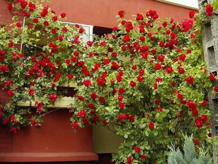 Сорт плетистой розы «Симпатия» - (Sympathie).