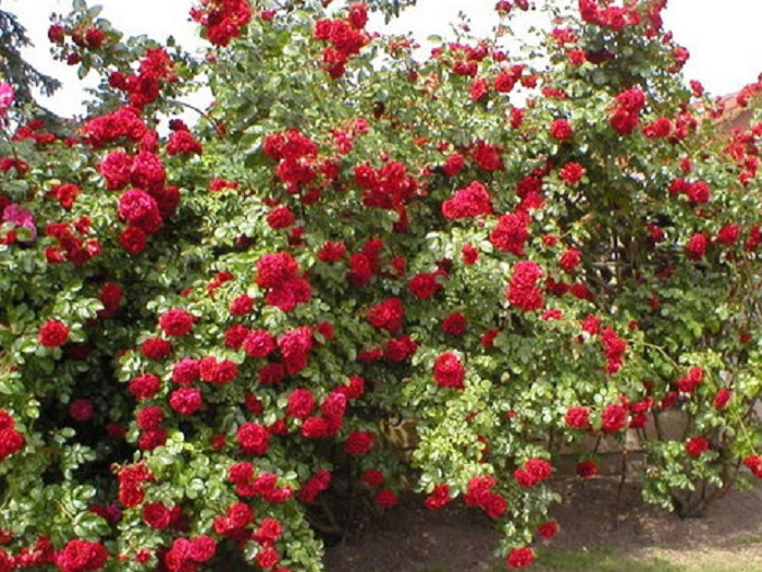 Сорт плетистой розы «Сантана» (Santana).