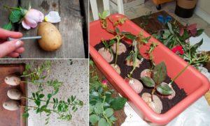 Укоренение черенков в картофеле можно проводить весной одревесневшими черенками и летом зелеными. Пригодны для этой цели и розы из букета.
