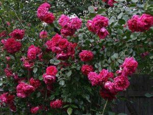 Цветы у розы Лагуна полумахровые, декоративность не страдает из-за дождя, могут цвести до заморозков. Поэтому стоит вовремя начать удалять завязи перед зимовкой, чтобы растение успело набрать силы.