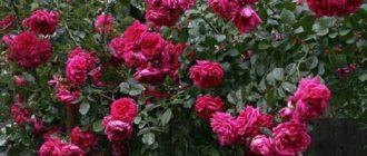 Роза Лагуна плетистая