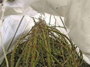 Когда снимать укрытие роз. После разгребания земли, осмотра и обработки перезимовавших роз, накрываем тонким слоем укрывного материала, который поможет защитить от небольших заморозков, ветра и палящего солнца