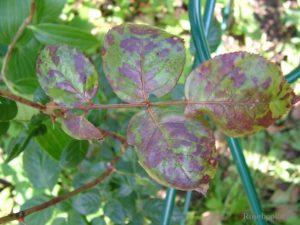 При мучнистой росе очаги болезни не имеют преимущественно чёрного цвета.