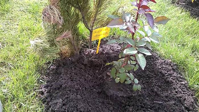Заделку навоза в почву производят по диаметру, отступая обязательно несколько сантиметров от побега.