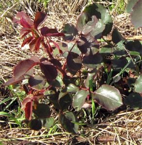 Побег розы изначально имеет красно-коричневый цвет и по мере взросления уже зеленеет.