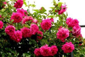 Куст розы этого сорта достаточно крупный и раскидистый. Сильное уплотнение ветвей в охапку при формировании куста не приветствуется. Поэтому расстояние между ним и соседними растениями, даже если это будут не кусты роз, должно быть не менее 1-1,5 метров.