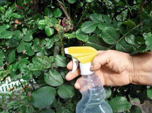 Опрыскивание куста проводят полностью, обрабатывая зелень и листья до мокрого листа