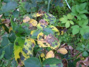 При чёрной пятнистости цвет пораженных участков не имеет багровых, фиолетовых оттенков. Круглая форма болячек, которые впоследствии сливаются в одно большое пятно.