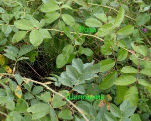 Визуально хорошо определяется поросль шиповника на фоне уже знакомого сорта розы. Сложнее, когда внешние признаки приобретённого растения ни совсем знакомы.