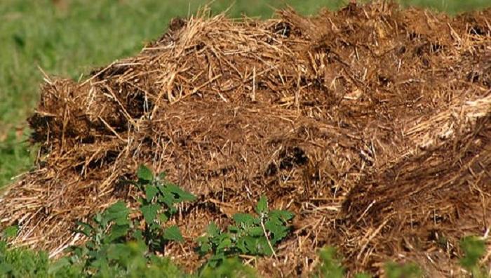 Солома в полуперепревшем навозе видна, но цвет у неё коричневый, она легче разлагается в почве.