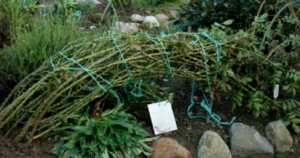 Перед укрытием плети связывают в пучок, пригибают к земле и фиксируют с помощью скоб, рогаток или колышков.