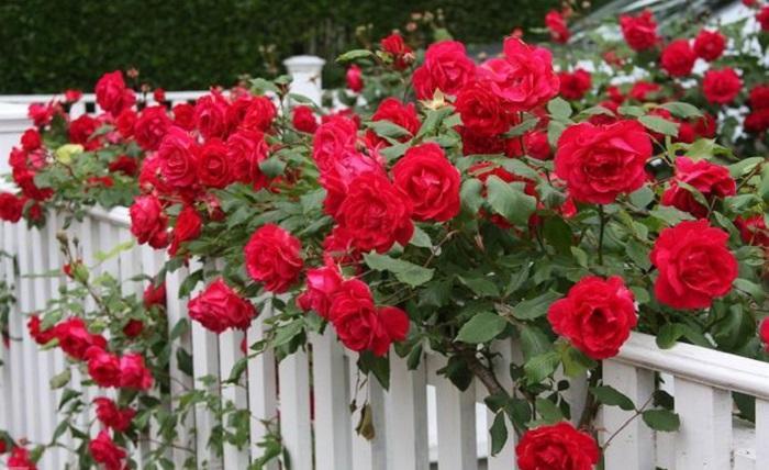Роза Байкал – выносливое растение, но требует защиты от сильных морозов и инфекций.