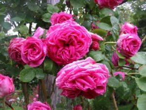 Пионовидные плетистые розы: примеры сортов. Пионовидной формой цветка обладают также старинные плетистые бурбонские розы