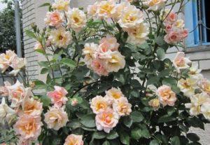 Плетистая роза Compession отличается высокой декоративностью цветения, но требует идеальных климатических условий.