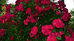Сорта плетистых роз, рекомендованные для V зоны USDA хорошо приживаются в средней полосе Европейской части России